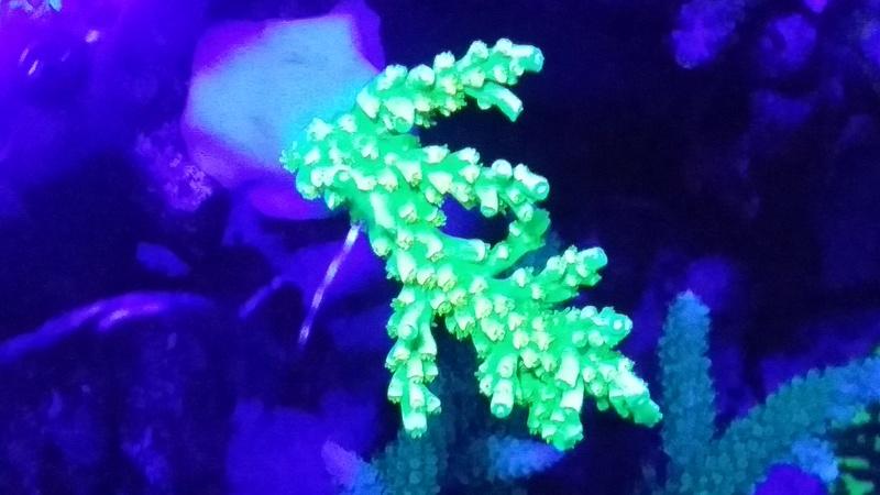 Navarchus Reef Tank - Page 3 20161214