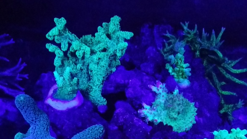 Navarchus Reef Tank - Page 3 20161216