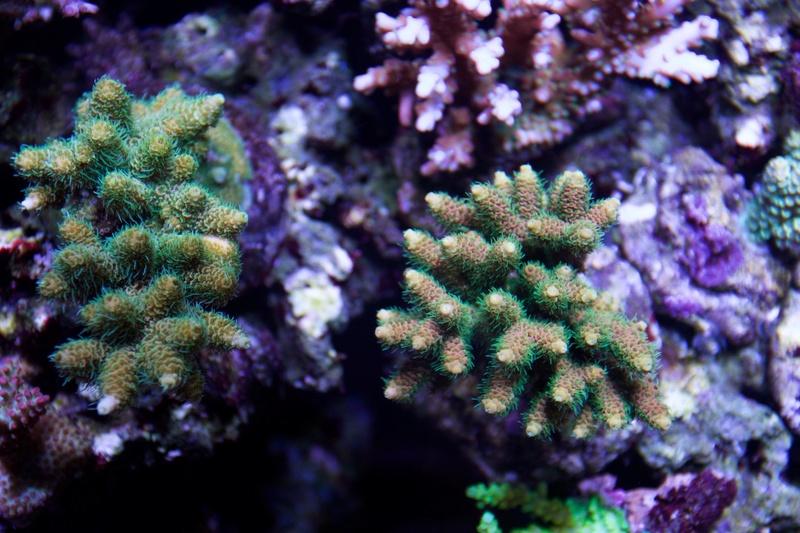 Navarchus Reef Tank - Page 2 Img_8464