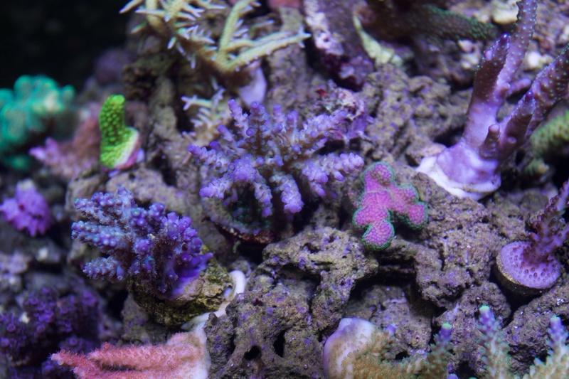 Navarchus Reef Tank - Page 2 Img_8466
