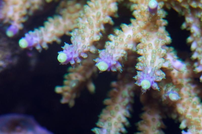 Navarchus Reef Tank - Page 2 Img_8474