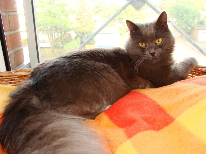 Figo found as Kitten -- is he a Nebelung? Dsc01210