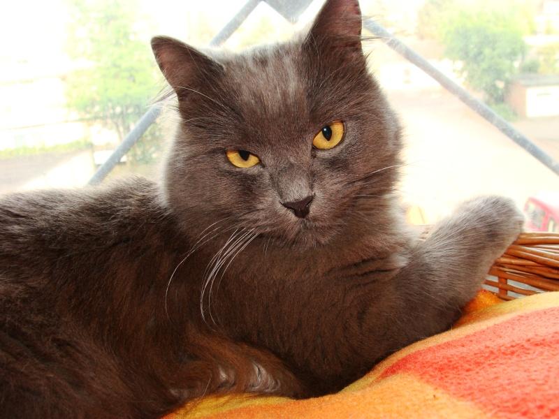 Figo found as Kitten -- is he a Nebelung? Dsc01211