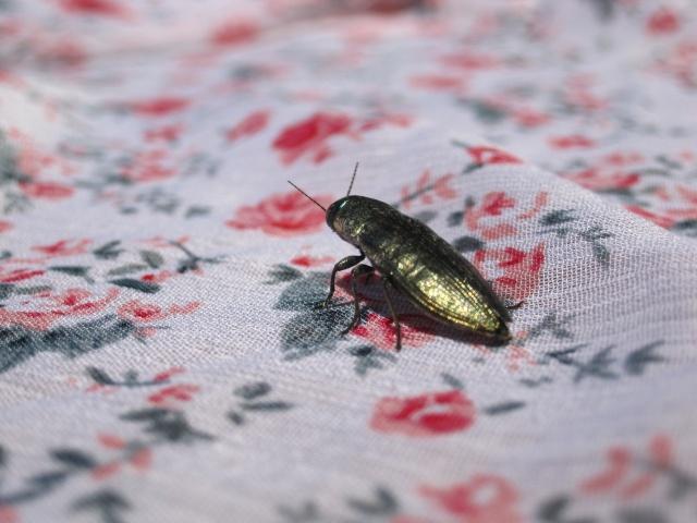 Identification d'un petit coléoptère allongé vert irisé Img_5110