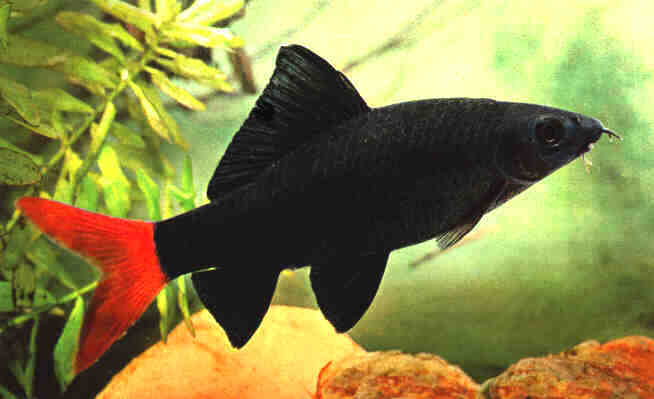 September Fish Of The Month Redtai10