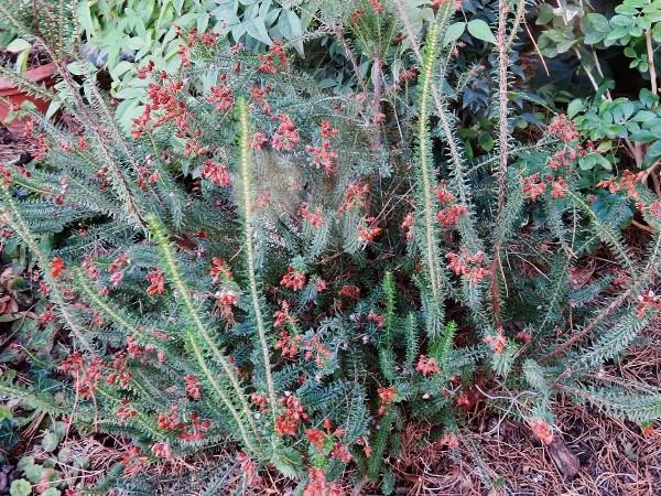 Erica multiflora - bruyère à fleurs nombreuses 001_6010