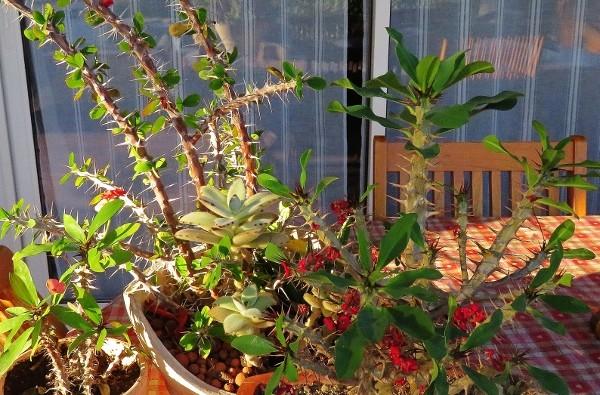Euphorbia millii - Page 2 001_6011