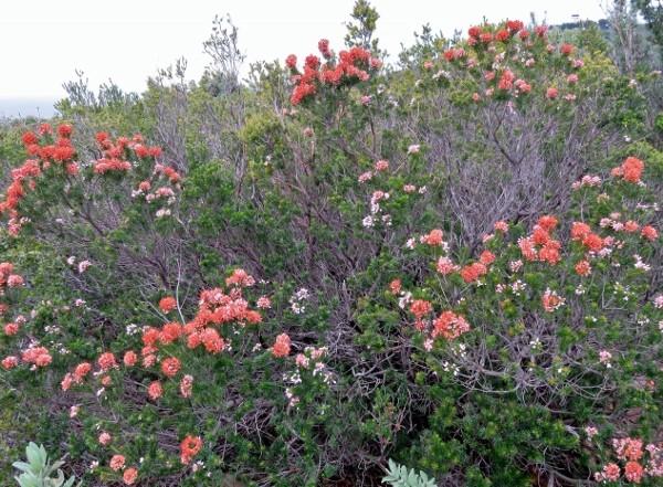 Erica multiflora - bruyère à fleurs nombreuses 001_6012