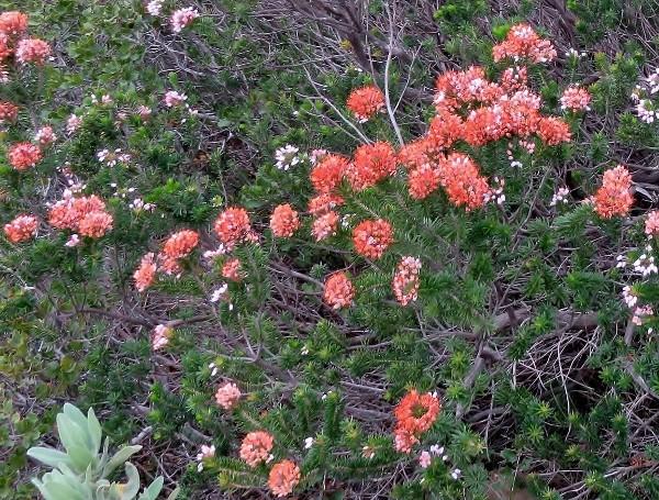 Erica multiflora - bruyère à fleurs nombreuses 001_6013