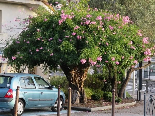 Quand un arbre de ville sert de support à une liane (Podranea ricosoliana) 006_6010