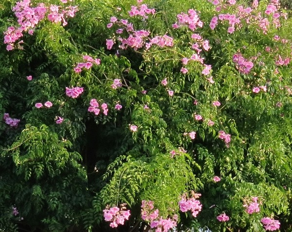 Quand un arbre de ville sert de support à une liane (Podranea ricosoliana) 006_6012