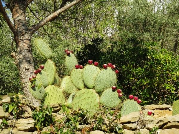 Opuntia ficus-indica  021_6012