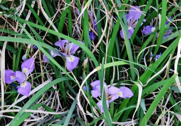 Iris unguicularis - Page 3 032_6012