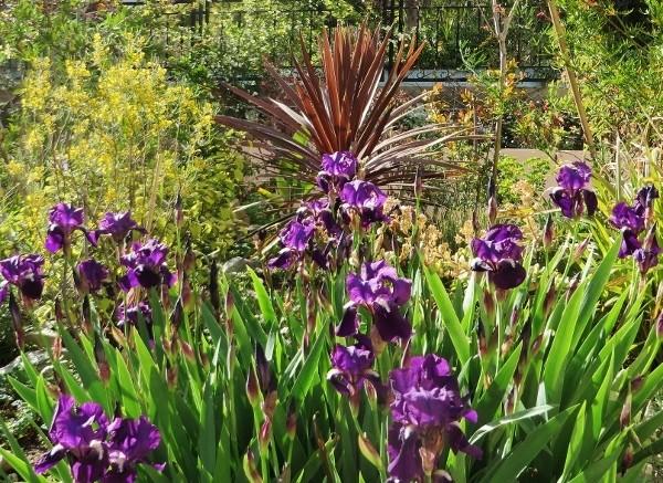 Associer nos iris à d'autres plantes pour de beaux massifs 033_6010