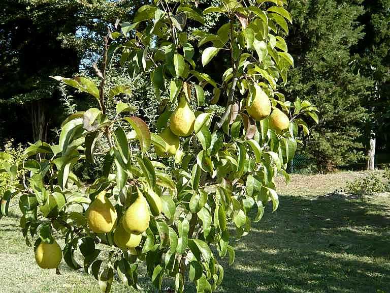 Recherche arbre pour mon jardin - Page 2 1er_oc10