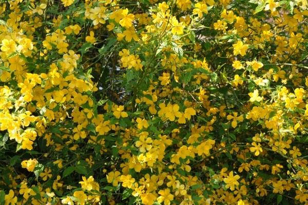 Kerria japonica - corète du Japon - Page 2 Arbore10