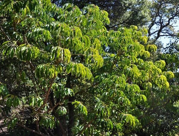Fatsia japonica - fatsia du japon - Page 2 Chez_j10