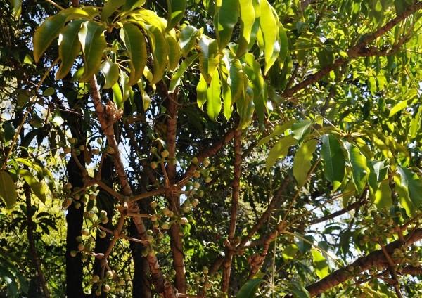 Fatsia japonica - fatsia du japon - Page 2 Chez_j11