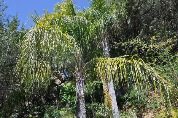 Syagrus romanzoffiana - palmier reine Chez_j15