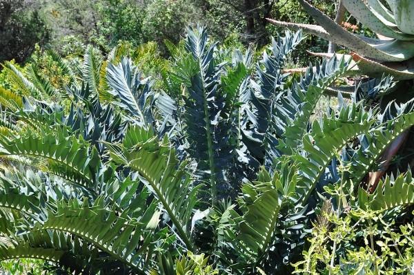 Encephalartos arenarius  Chez_j18