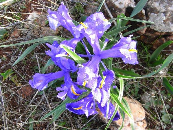Maroc - flore de l'Atlas marocain - Page 3 Copy_o14