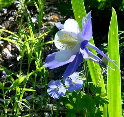 Associer nos iris à d'autres plantes pour de beaux massifs - Page 2 Copy_o20