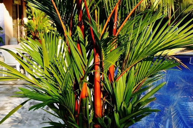 Cyrtostachys renda - palmier à tronc rouge Costa_16