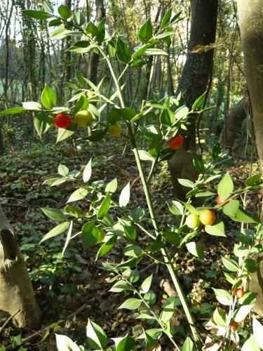 Ruscus aculeatus - fragon petit houx Fragon10