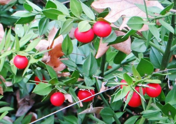 Baies et fruits d'hiver Fragon11
