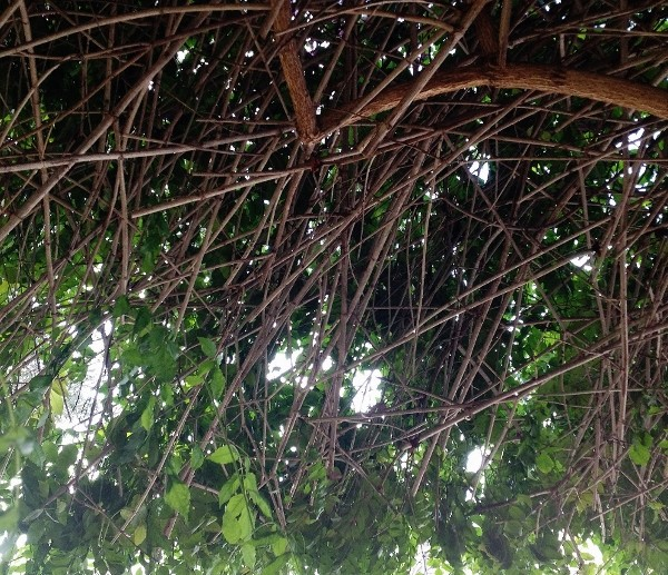 Quand un arbre de ville sert de support à une liane (Podranea ricosoliana) Img_0611