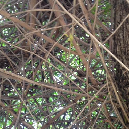 Quand un arbre de ville sert de support à une liane (Podranea ricosoliana) Img_0612