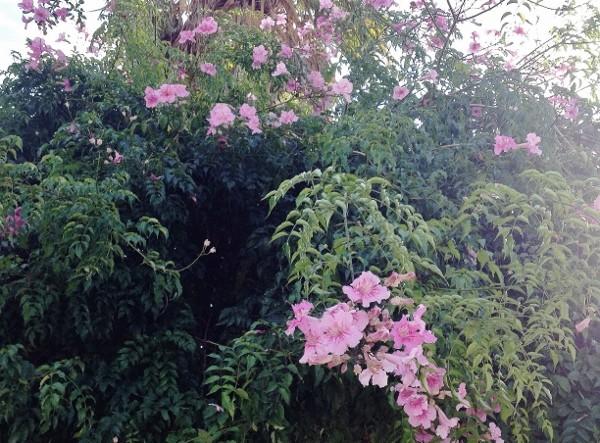 Quand un arbre de ville sert de support à une liane (Podranea ricosoliana) Img_0616