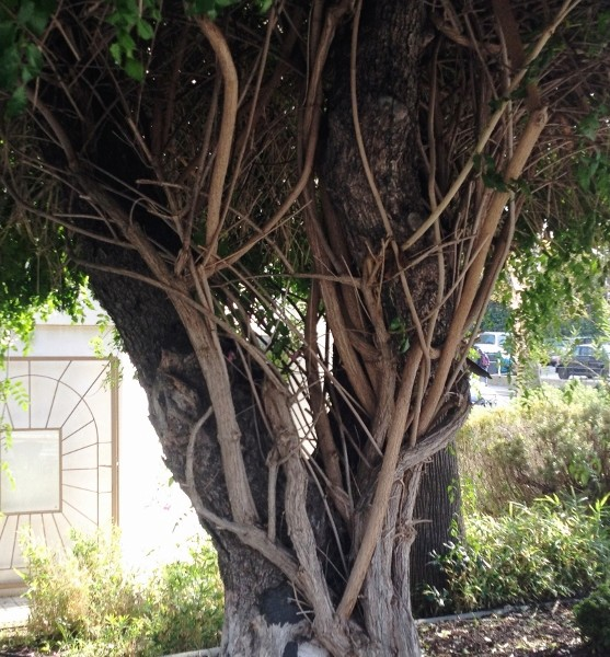 Quand un arbre de ville sert de support à une liane (Podranea ricosoliana) Img_0619