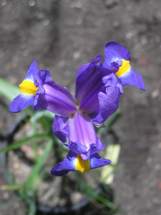 Maroc - flore de l'Atlas marocain - Page 2 Iris-t10