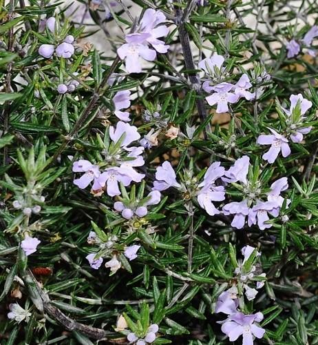 Westringia longifolia - romarin d'Australie Jardin10