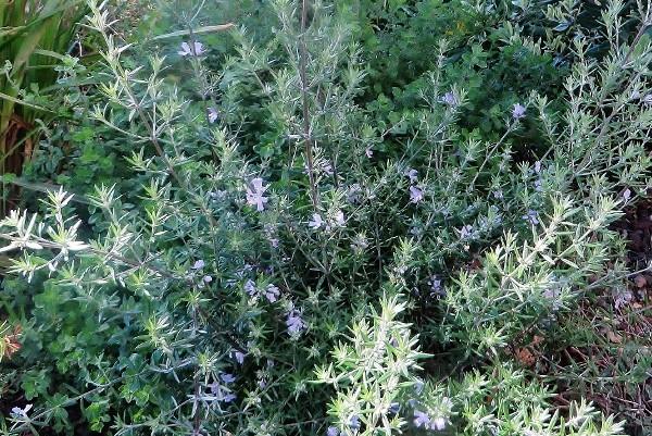 Westringia longifolia - romarin d'Australie Les_gu10