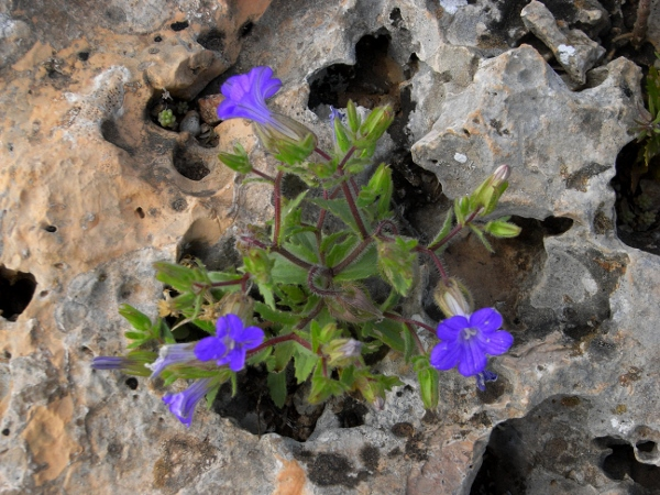 Maroc - flore de l'Atlas marocain - Page 2 Mai_2012