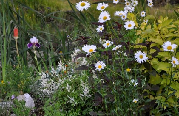 Associer nos iris à d'autres plantes pour de beaux massifs Mai_2016