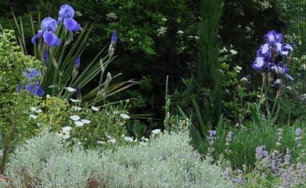 Associer nos iris à d'autres plantes pour de beaux massifs Mai_2023