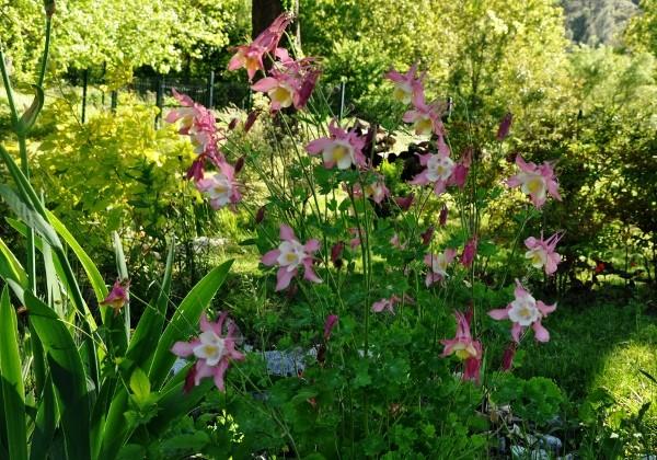 Associer nos iris à d'autres plantes pour de beaux massifs - Page 2 Mai_2031