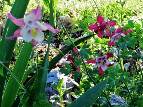 Associer nos iris à d'autres plantes pour de beaux massifs - Page 2 Mai_2032