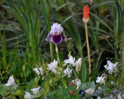 Associer nos iris à d'autres plantes pour de beaux massifs - Page 2 Mai_2034