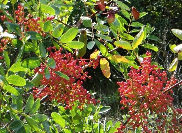 Pistacia terebinthus - pistachier térébinthe Octobr11
