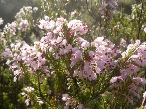 Erica multiflora - bruyère à fleurs nombreuses P1210210