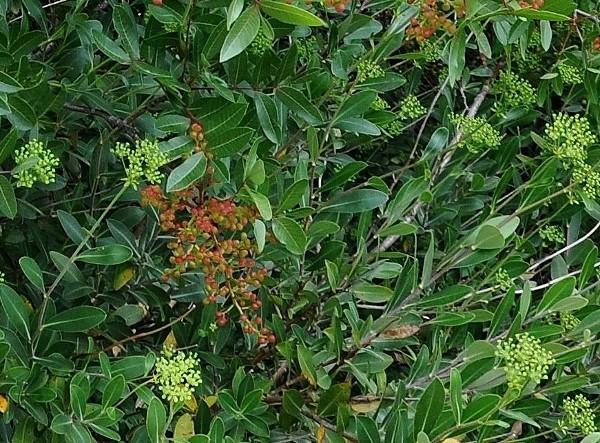 Pistacia terebinthus - pistachier térébinthe Pistac10