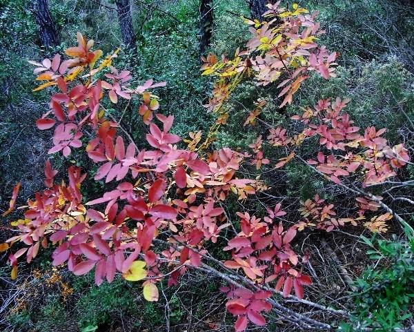 Pistacia terebinthus - pistachier térébinthe Pistac12