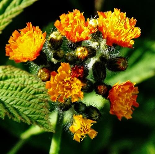 Pilosella aurantiaca (= Hieracium aurantiacum) - piloselle orangée Ypervi10