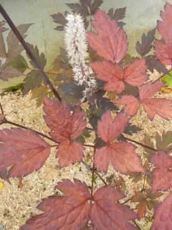 Couleurs d'automne Cimici10