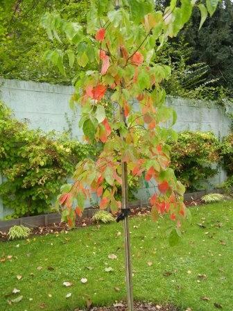 Couleurs d'automne Cornus10