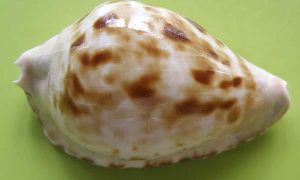 Zoila marginata consueta - Biraghi, 1993 Margin18